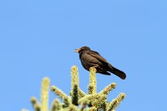 Male turdus merula singing Stock Photography
