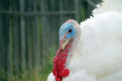 Male turkey. Close-up of white male turkey Royalty Free Stock Images