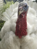 Male Turkey. Closeup of a male tom white turkey Royalty Free Stock Image