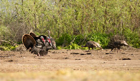 Male Turkey Courting Mating Tall Growth Big Wild Game Bird. Two male Tom Turkeys courting female hens that are off camera right Royalty Free Stock Image