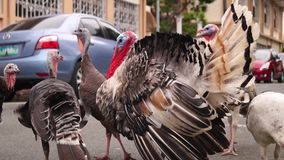 Male turkey in courting mood. On the loose in a street stock video