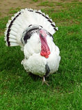 Male turkey displaying aggression. Image of a male turkey displaying aggression Stock Images