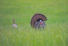 A male Turkey displays his tail feathers to a female. A male Turkey displaying in a field of green grass stock image