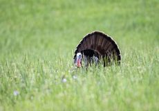 A male Turkey displays his tail feathers in a field of green grass. A male Turkey displaying in a field of green grass royalty free stock photography