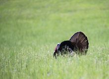 A male Turkey displays his tail feathers in a field of green grass. A male Turkey displaying in a field of green grass stock photo