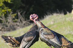 Male turkey fighting Stock Images