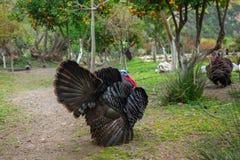 Male turkey in garden. Male turkey strutting in orange garden on Crete, Greece Royalty Free Stock Photo