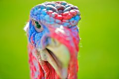 Male turkey head or face against a green grass background Stock Image