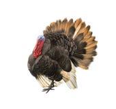 Male turkey illustration isolataed on white Royalty Free Stock Photo