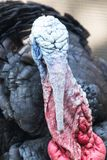 Male turkey. In the park in nature Royalty Free Stock Image