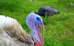Male Turkey portrait. Funny male Turkey closeup portrait and female bird in the background pasturing in green meadow grass Royalty Free Stock Photography