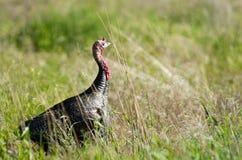 Male Turkey Running Tall Growth Big Wild Game Bird Stock Images