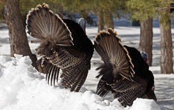 Male Turkey. Male turkey on snow, spring mating season Royalty Free Stock Images