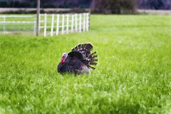 Male Turkey strutting in a pasture. A male turkey struts about in a green pasture during spring matting Stock Photos