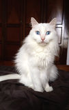 Male Turkish Angora cat with blue eyes Stock Photo