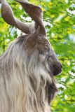 Male Turkmenian markhor. Capra falconeri heptneri portrait Stock Image