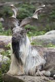 Male Turkmenian markhor. (Capra falconeri heptneri) resting on rocks Stock Photo