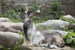 Male Turkmenian markhor. (Capra falconeri heptneri) resting on rocks Royalty Free Stock Image
