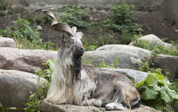 Male Turkmenian markhor. (Capra falconeri heptneri) resting on rocks Royalty Free Stock Photography
