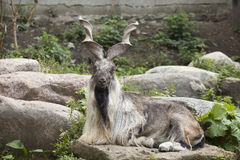 Male Turkmenian markhor Stock Photos