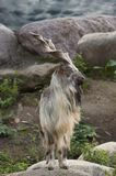 Male Turkmenian markhor. Capra falconeri heptneri stand on rocks Royalty Free Stock Photography
