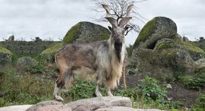 Male Turkmenian markhor. Capra falconeri heptneri stand on rocks Royalty Free Stock Photos