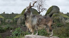 Male Turkmenian markhor. Capra falconeri heptneri stand on rocks Stock Photo