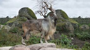 Male Turkmenian markhor. Capra falconeri heptneri stand on rocks Royalty Free Stock Photo