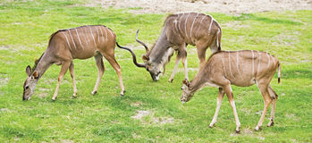 A male  and two female kudus grazing. Group of Greater Kudus - Tragelaphus strepsiceros - grazing on field Stock Photo