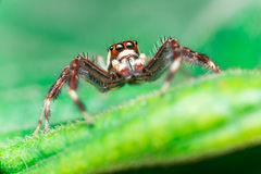 Male Two-striped Jumping Spider Telamonia dimidiata, Salticidae resting and crawling on a green leaf Royalty Free Stock Photography