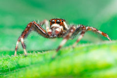 Male Two-striped Jumping Spider Telamonia dimidiata, Salticidae resting and crawling on a green leaf. Telamonia dimidiata, Salticidae resting and crawling on a Stock Image