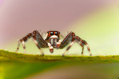 Male Two-striped Jumping Spider Telamonia dimidiata, Salticidae resting and crawling on a green leaf. Telamonia dimidiata, Salticidae resting and crawling on a Royalty Free Stock Photo