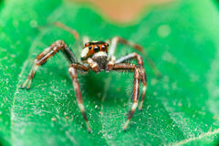 Male Two-striped Jumping Spider Telamonia dimidiata, Salticidae resting and crawling on a green leaf Royalty Free Stock Image