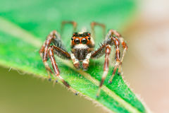 Male Two-striped Jumping Spider Telamonia dimidiata, Salticidae resting and crawling on a green leaf Royalty Free Stock Photos