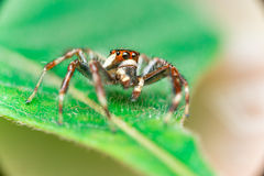 Male Two-striped Jumping Spider Telamonia dimidiata, Salticidae resting and crawling on a green leaf. Telamonia dimidiata, Salticidae resting and crawling on a Royalty Free Stock Image