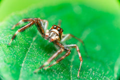 Male Two-striped Jumping Spider Telamonia dimidiata, Salticidae resting and crawling on a green leaf Stock Photo