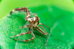 Male Two-striped Jumping Spider Telamonia dimidiata, Salticidae resting and crawling on a green leaf. Telamonia dimidiata, Salticidae resting and crawling on a Royalty Free Stock Images