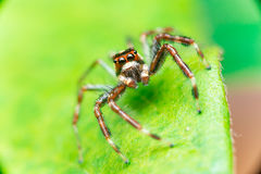 Male Two-striped Jumping Spider Telamonia dimidiata, Salticidae resting and crawling on a green leaf. Telamonia dimidiata, Salticidae resting and crawling on a Stock Photography