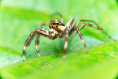 Male Two-striped Jumping Spider Telamonia dimidiata, Salticidae resting and crawling on a green leaf. Telamonia dimidiata, Salticidae resting and crawling on a Royalty Free Stock Photos