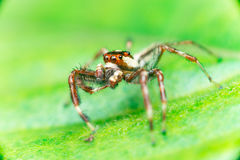 Male Two-striped Jumping Spider Telamonia dimidiata, Salticidae resting and crawling on a green leaf Stock Image