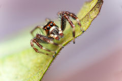 Male Two-striped Jumping Spider Telamonia dimidiata, Salticidae resting and crawling on a green leaf Stock Photography