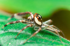 Male Two-striped Jumping Spider Telamonia dimidiata, Salticidae resting and crawling on a green leaf Royalty Free Stock Photo