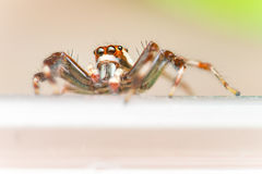 Male Two-striped Jumping Spider Telamonia dimidiata, Salticidae resting and crawling on a green leaf Stock Photos