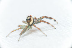 Male Two-striped Jumping Spider Telamonia dimidiata, Salticidae resting and crawling on a green leaf Stock Images
