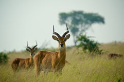 Male Ugandan Kobs. Watchful male Ugandan kobs (Kobus kob thomasi) on the Ugandan savannah Stock Images