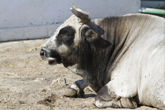 Male Ukrainian gray steppe cattle resting autumn day in the pad. Dock Stock Image