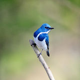 Male Ultramarine Flycatcher Royalty Free Stock Photography