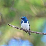 Male Ultramarine Flycatcher Stock Image