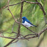Male Ultramarine Flycatcher Stock Photos