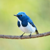 Male Ultramarine Flycatcher Royalty Free Stock Image
